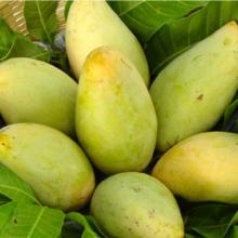 ফজলি আম – Fazli Mango – ৫ মন