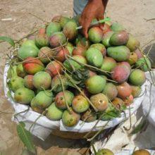 মল্লিকা আম – Mallika Mango – 20 KG