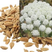 গাজরের বীজ, gajor bij , carrot seeds